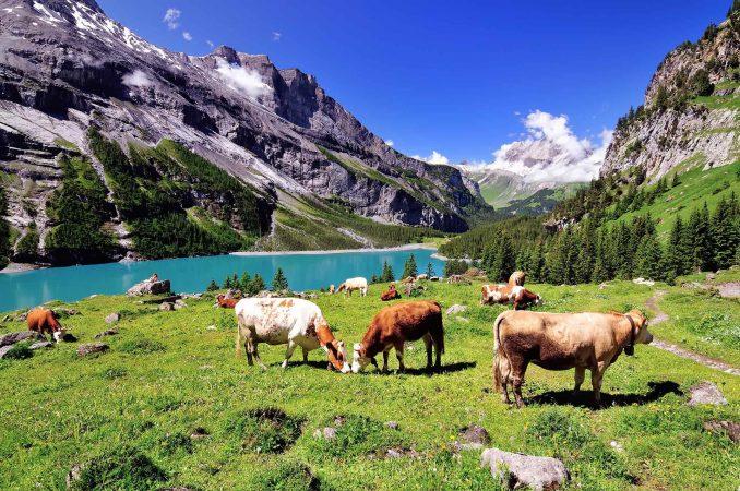 Alpenpanorama mit Kühen auf grüner Wiese