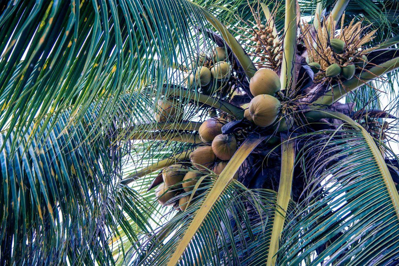 Blätterdach einer Kokospalme mit Kokosnüssen.