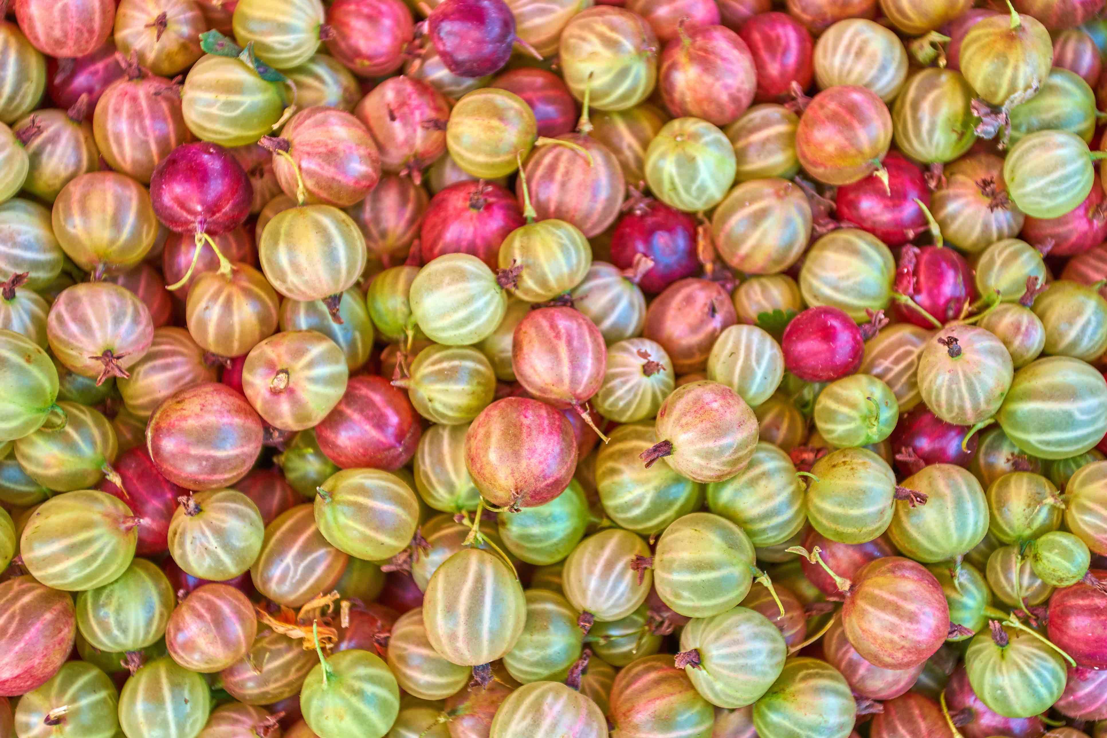 Stachelbeeren in vielen Farbnuancen von Grün bis Rot.