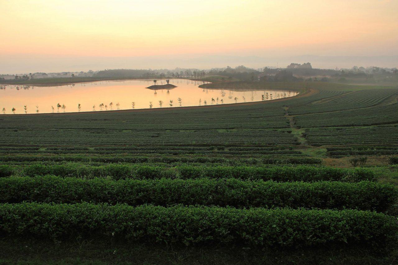 Matcha-Grünteeplantage bei Sonnenaufgang.
