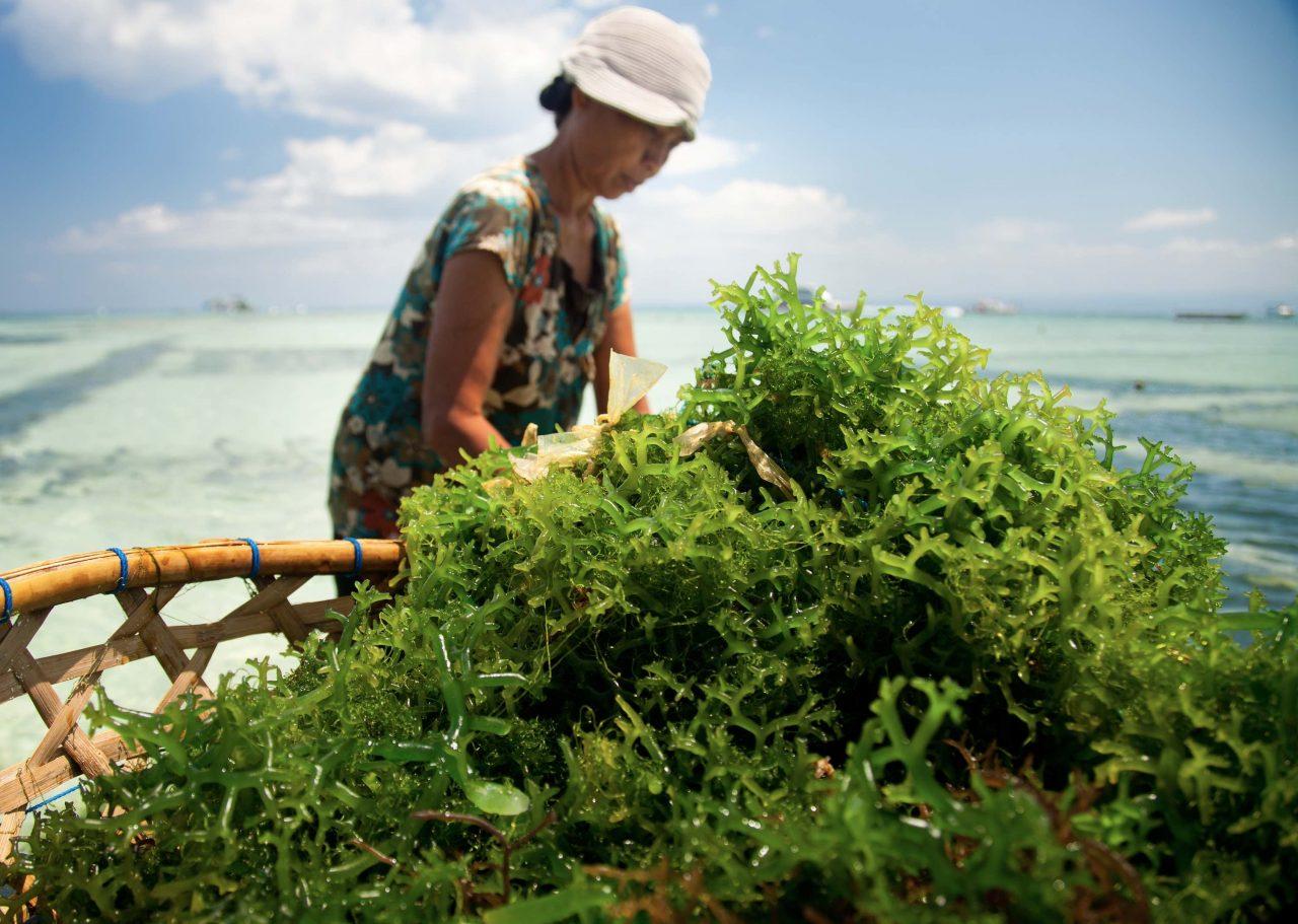 Frau erntet mit einem Boot grüne Algen aus dem Meer.