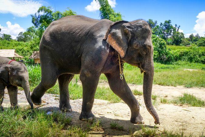Elefanten in Thailand in einem geschützten Ressort