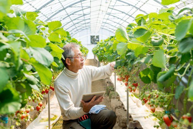 Datenüberwachtes Wachstum von Erdbeeren