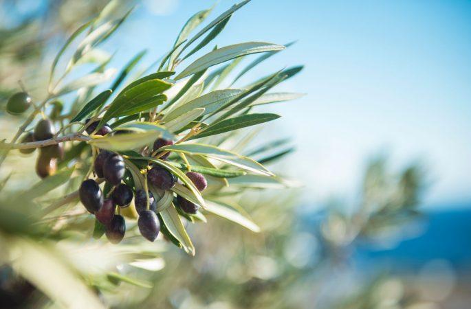 Zweig vom Olivenbaum