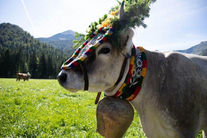Kuh beim Almabtrieb